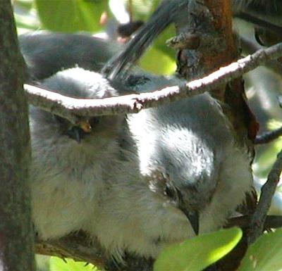 Bushtits in Scrub Oak