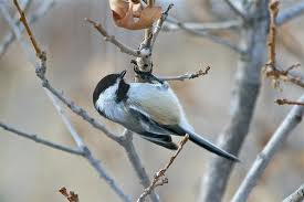Mountain Chickadee on Scrub Oak
