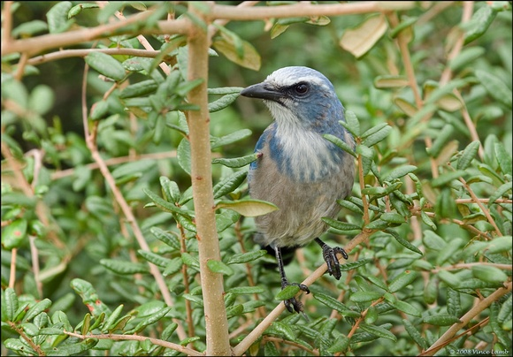 Scrub Jay in Oak